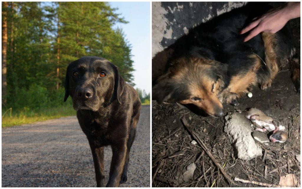 Чтобы помочь больной собаке и ее новорожденным щенкам, лабрадор бросался под колеса автомобилей, пытаясь их остановить