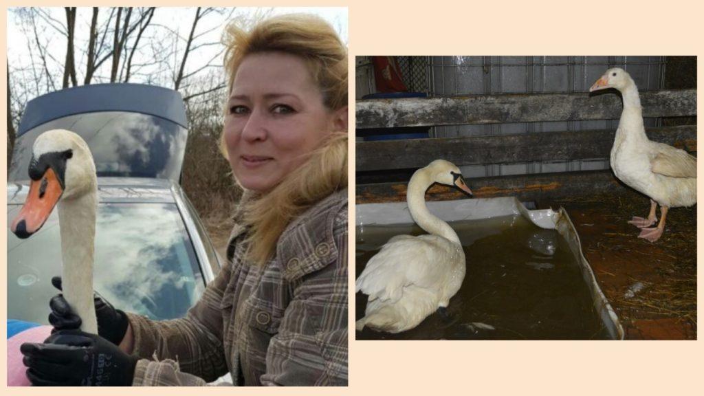 Жительница села Алексеевка спасла лебедя, который остался у нее жить