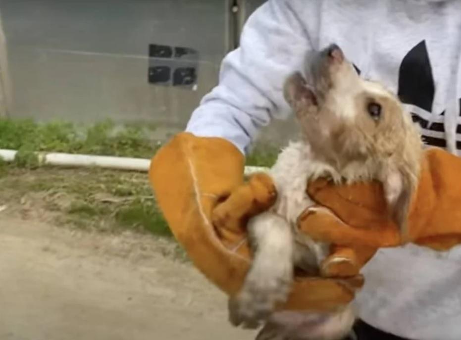 Грустная, голодная и слабая, собака найдена брошенной внутри бочки