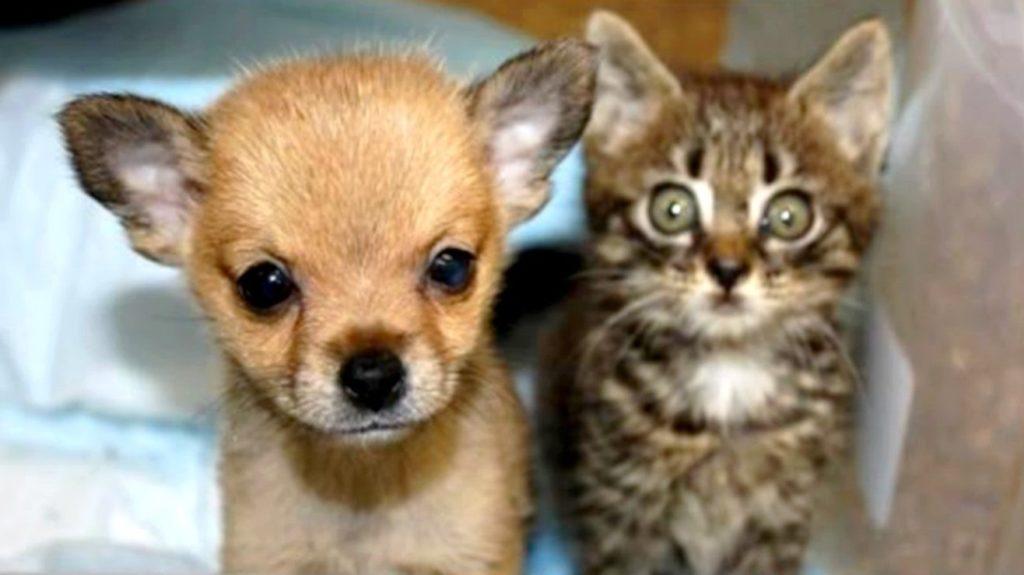 Маленький щенок был полностью уверен в том, что он котик, ведь он точь-в-точь повторял всё за своими братьями котятами