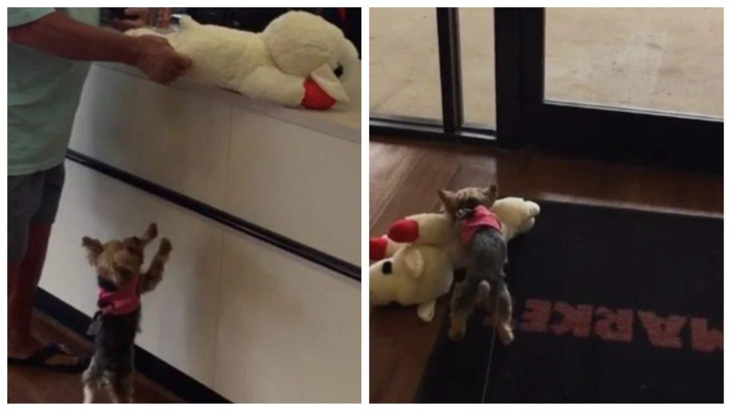 Щенок йорка выбирает свою собственную игрушку в магазине и безумно радуется покупке