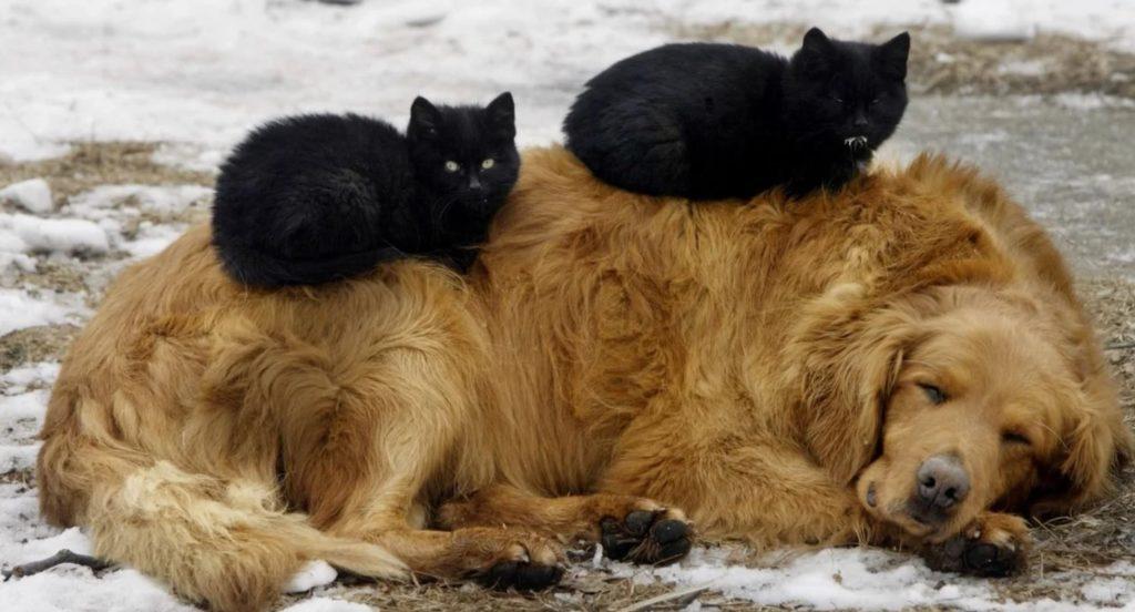 Пёс размером с телёнка лежал на снегу в компании чёрных кошек, которые его обожали потому, что он был мягким и тёплым