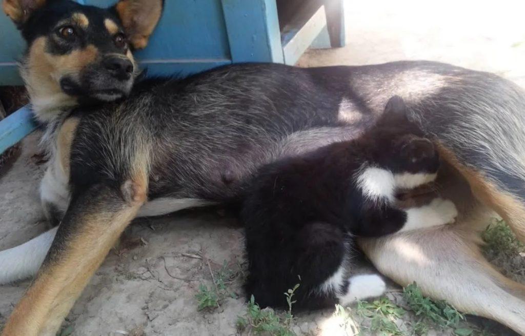 Городская собака выкормила котёнка, от которого сбежала родная кошка-мать, и с тех пор он рядом с ней