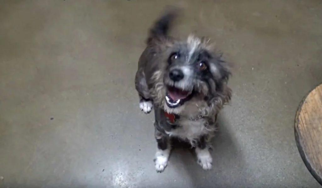 Брошенная собака выглядывала из ворот, чтобы найти помощь