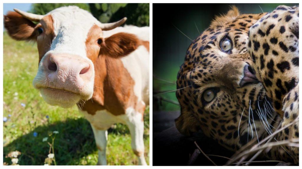 Корова стала приемной мамой для леопарда