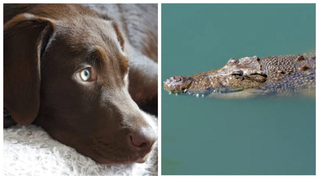 Рискуя своей жизнью, хозяин спас своего любимого лабрадора от пасти крокодила