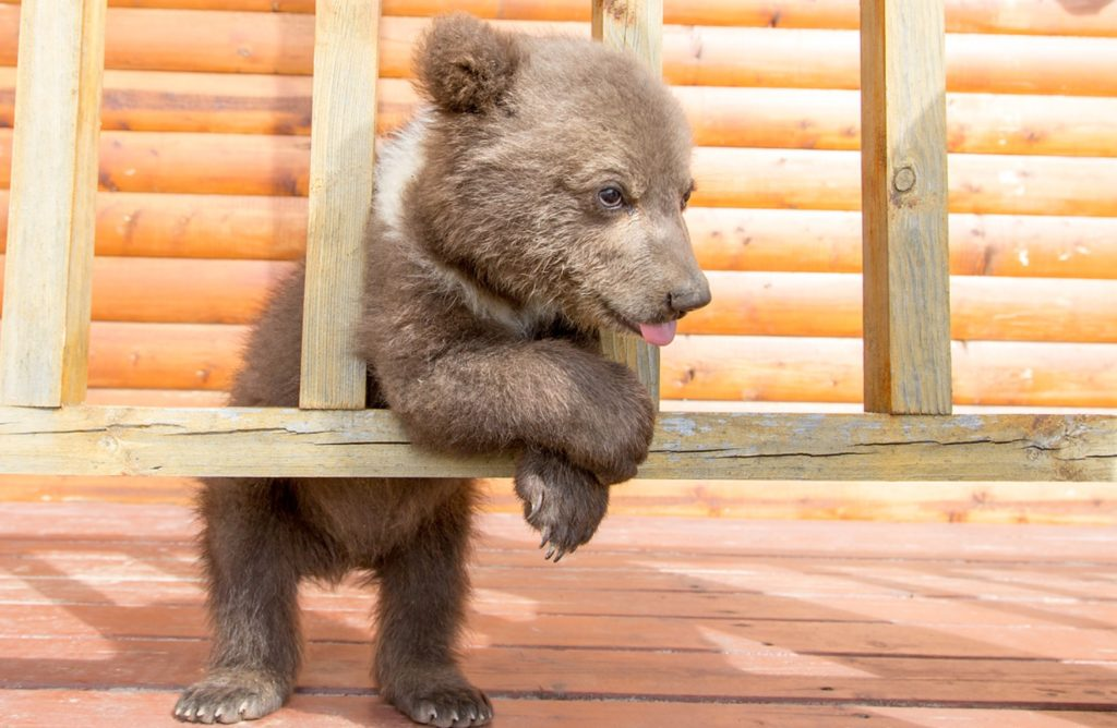 Медвежонок остался без мамы и пришел за помощью к людям