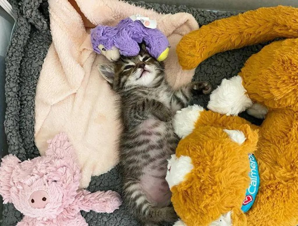 Котенок носит с собой везде своего ягненка, который был рядом в трудные минуты и обнимает его не переставая