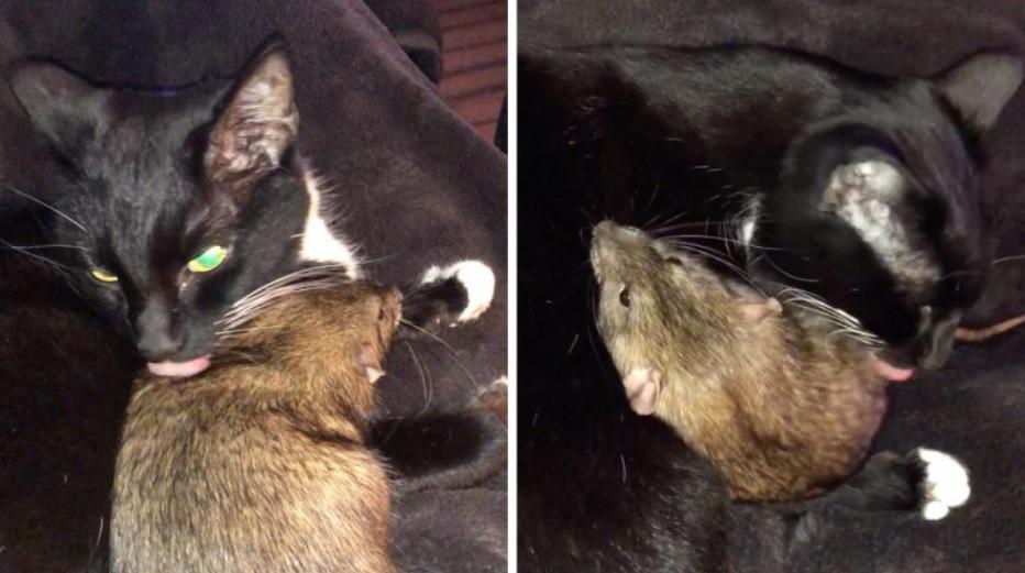 Кошка задружила с крысой и ухаживает за ней - как за своим котёнком