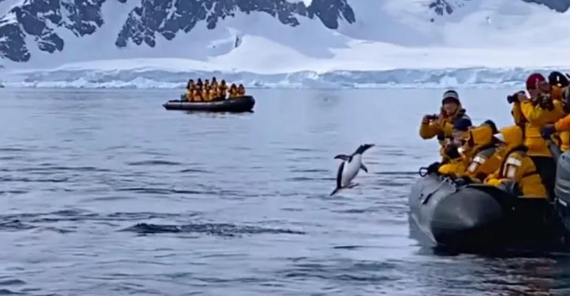Пингвину люди помогли спастись от зубов косатки