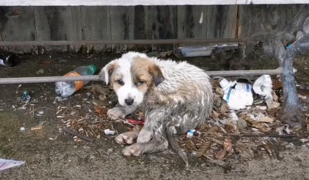 Возле мусорных баков плакал крошечный комочек: Щенок, покрытый клещами был болен, но надеялся на помощь