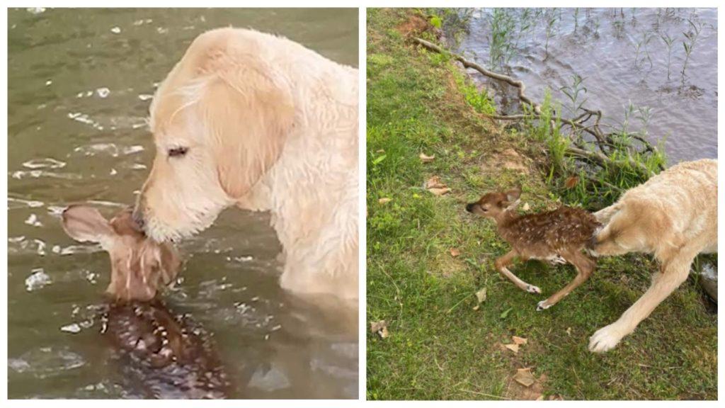 Пес спас тонущего маленького олененка и животные стали настоящими друзьями