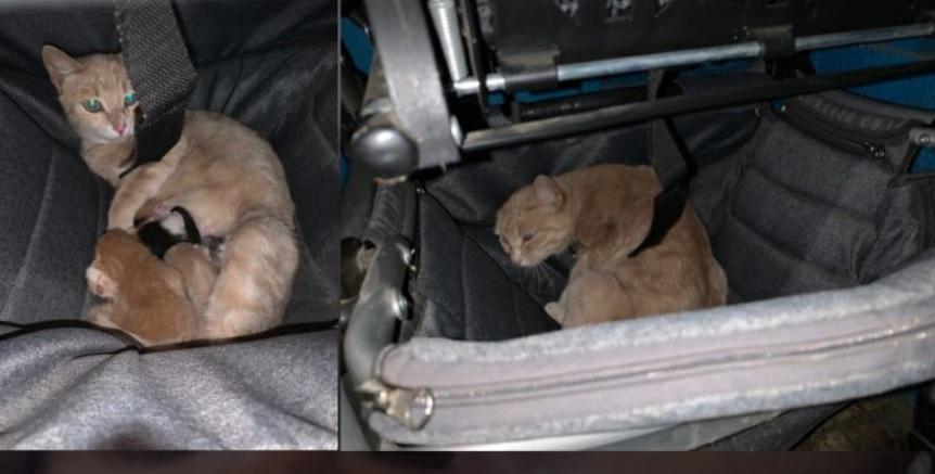 Беременная уличная кошечка проскочила в подъезд, и в детской коляске родила котят