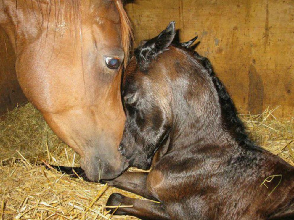 Горем убитая лошадь усыновила осиротевшего жеребенка - чем спасла ему жизнь