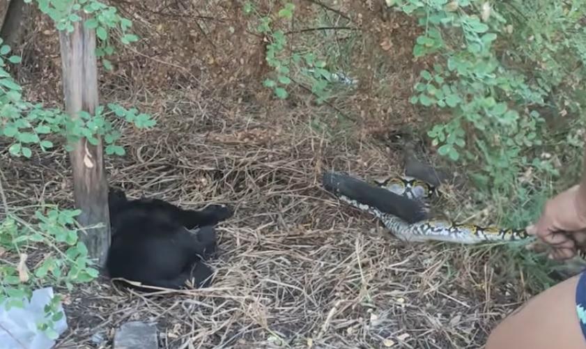 Кот не мог поверить, что остался жив: рабочие спасли его из объятий питона