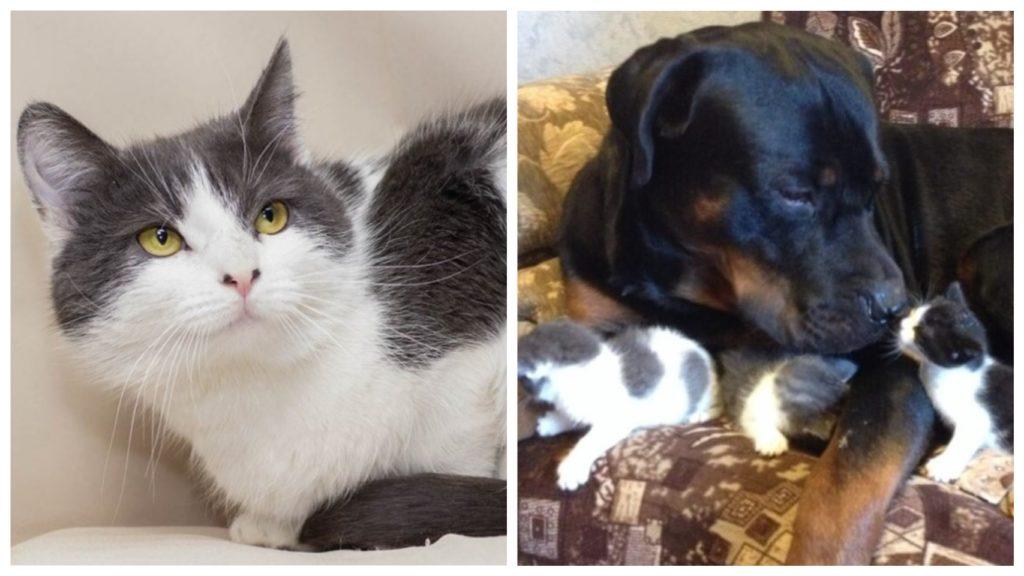 Ротвейлер Аза стала стала заботливой нянькой и другом для котят