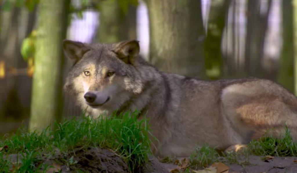 Бездомный щенок, который оказался волком, спасает семью своего хозяина