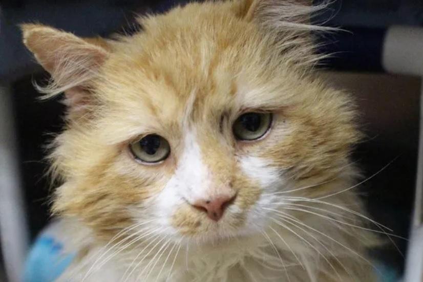 Кот прошёл 20 километров в поисках его хозяев - а они отдали  в приют чтобы усыпить