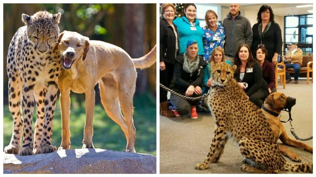 Друзья гепард и собака выполняют благородную миссию послов исчезающих в мире редких животных