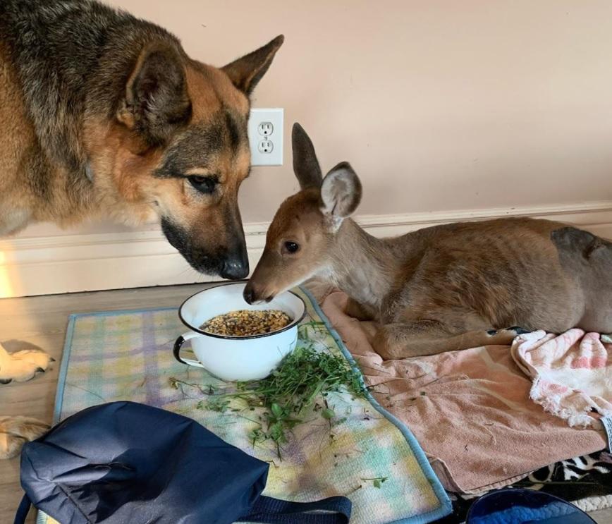 Немецкая овчарка воспитывает и нянчит спасенных оленят