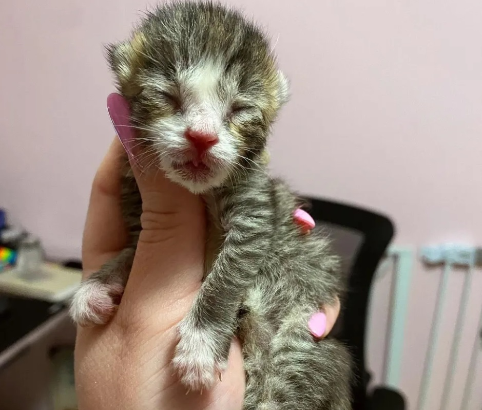 Маленького котенка выходили, он подрос и стал хвостиком ходить за своей хозяйкой
