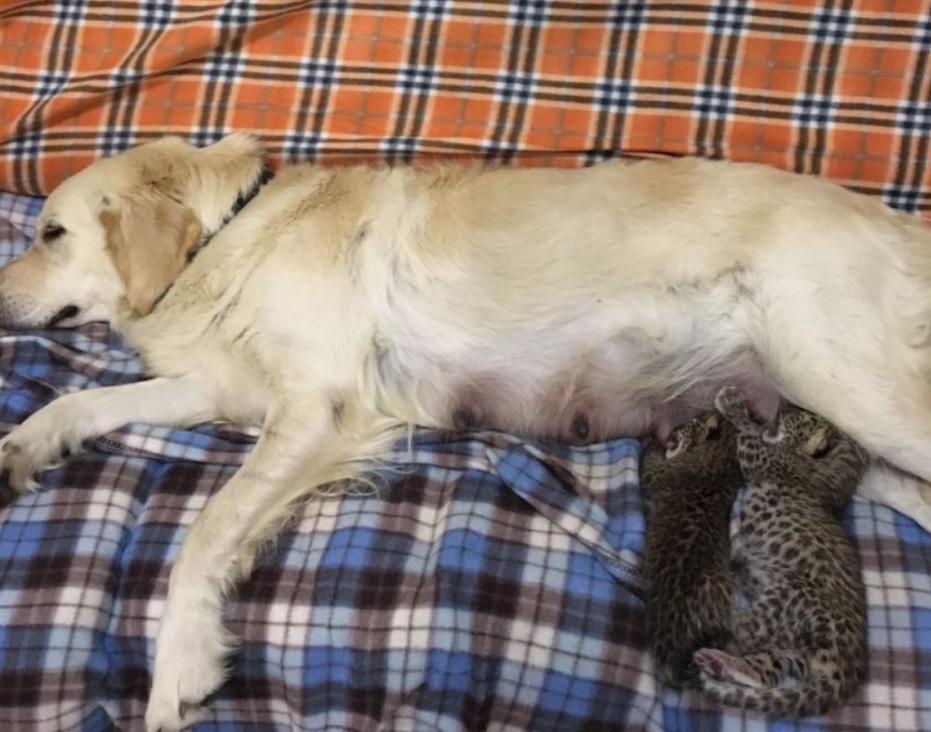 В зоопарке собака выкормила новорожденных леопардят - которых бросила мама