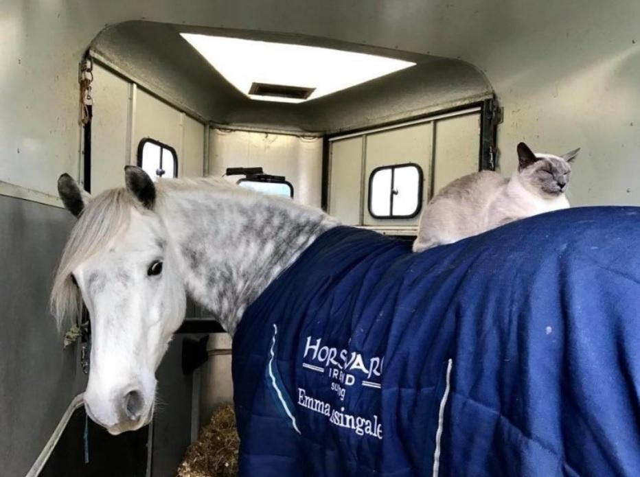 Дружба кота с лошадью, который любит кататься на ней верхом и сопровождать лошадь на прогулках