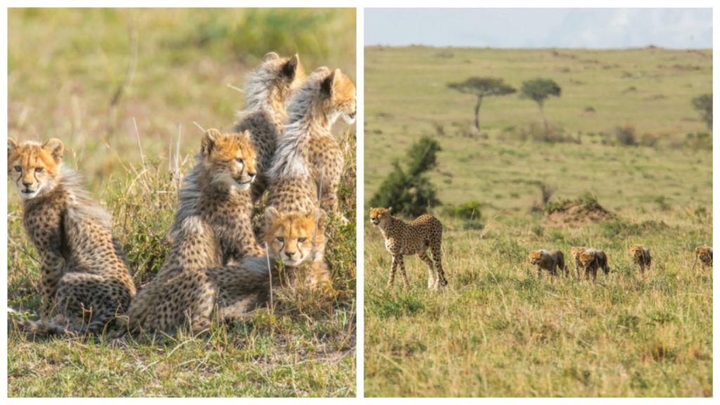 Трагическая история судьбы гепардов в дикой природе, которая закончилась счастливо