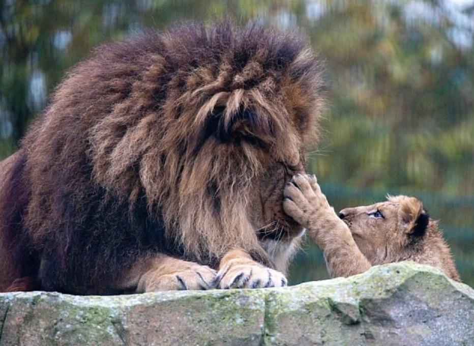 Лев - царь зверей, стал хорошим папой и сам воспитал своего сыночка