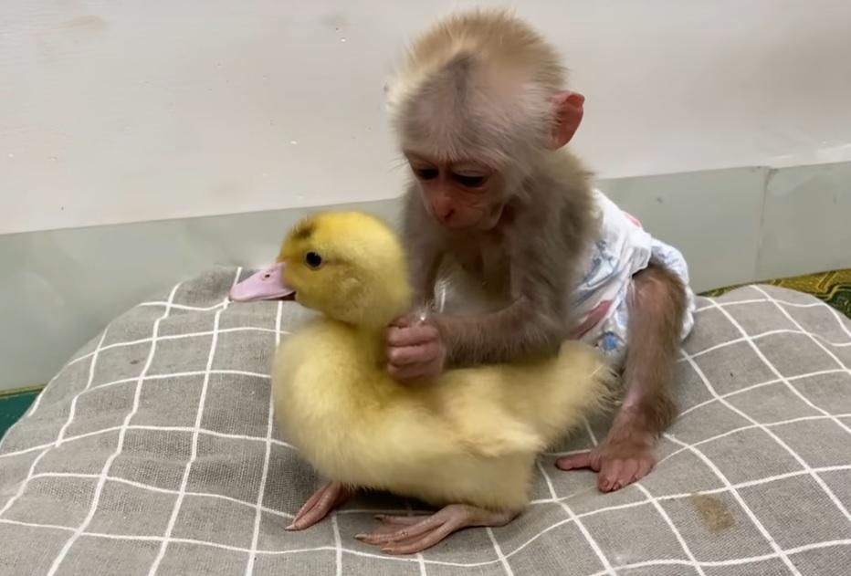 Маленькая обезьянка  старалась уложить спать утёнка и у неё это получилось