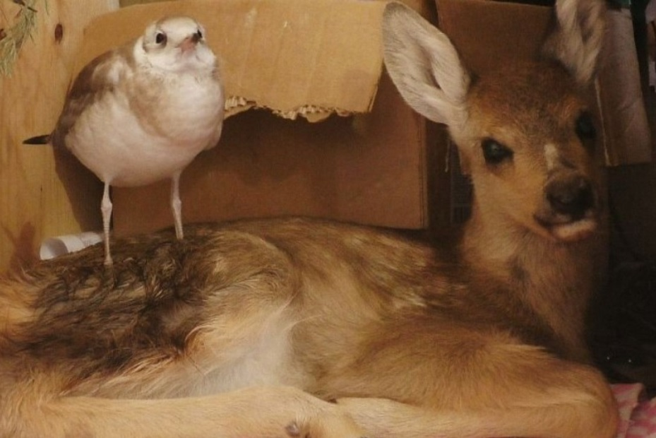 История необычной дружбы чайки и косули