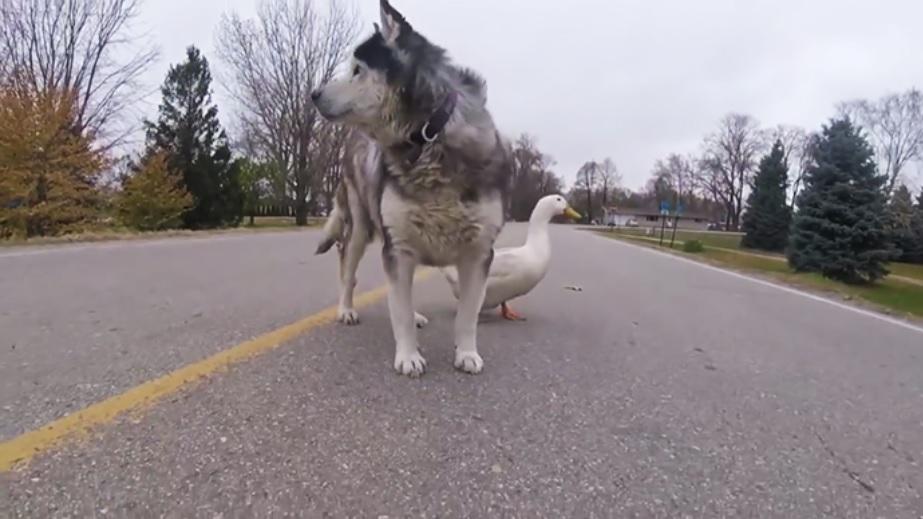 Дружба необычной пары хаски и утки - которые всегда вместе!