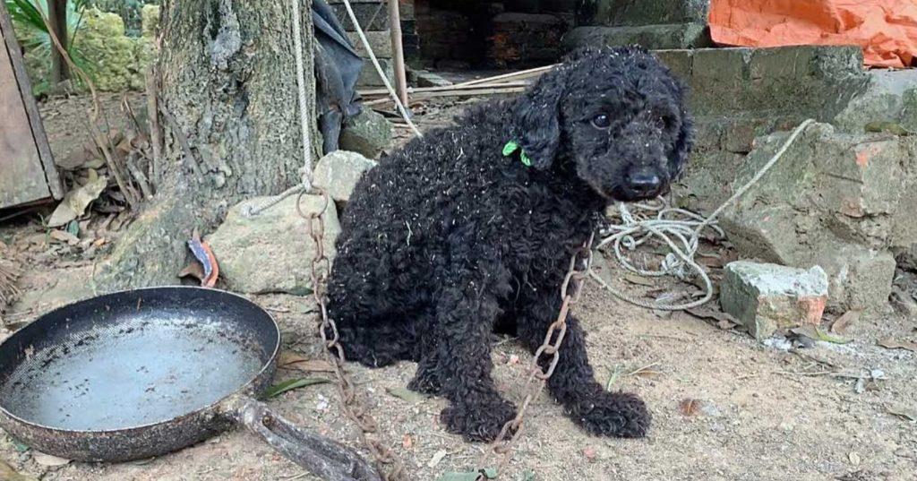 Собака жила прикованной на короткой цепочке рядом с пустой грязной сковородой
