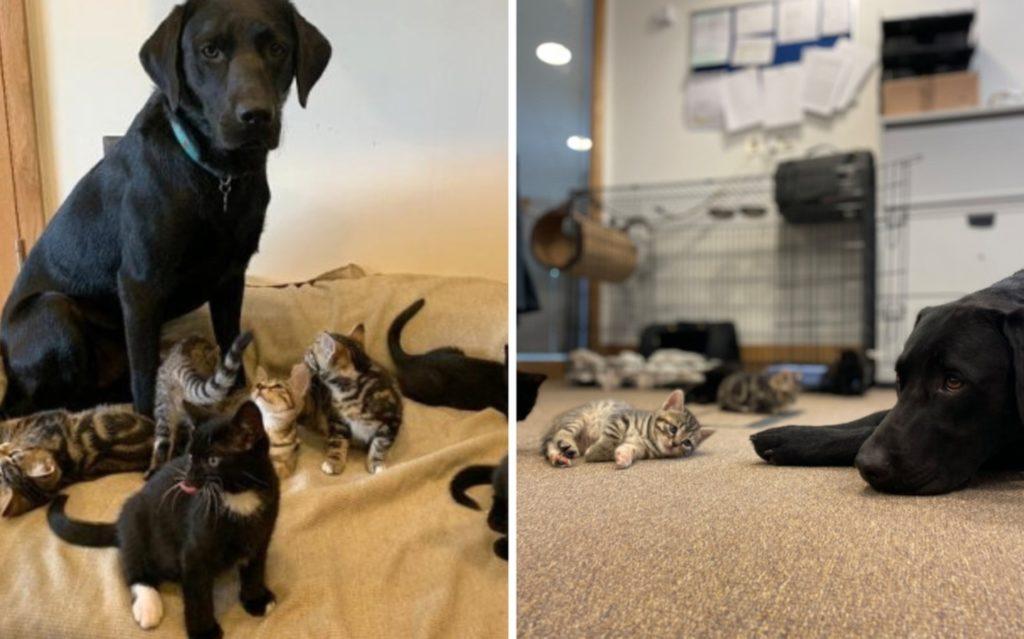 """Девушка принесла домой котят сирот и её пёс стал для них """"отцом"""""""