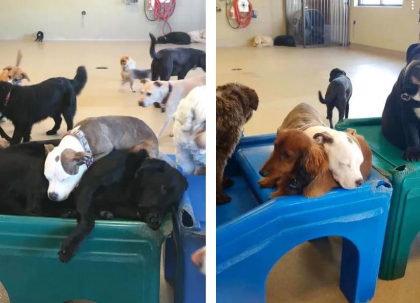 Дружба маленькой собачки с пушистыми собаками и вот почему