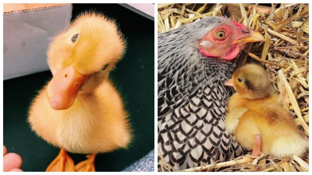 Курица вырастила утёнка и малыш воспринимает её своей мамой