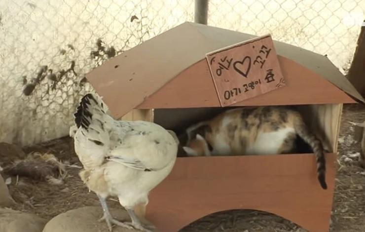 Заботливая курица наблюдает за тремя котятами, мать которых она воспитывала раньше