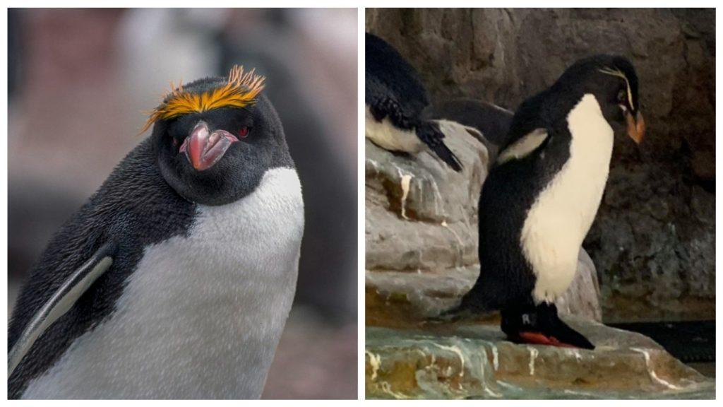 Ботиночки помогли пингвину стать на ноги и начать активную жизнь