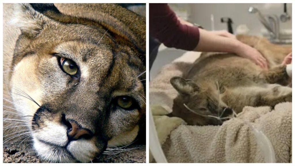 Умирающая пума пришла сама в приют для животных за помощью