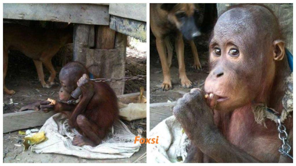 Орангутанг провел пять лет в цепях и теперь, наконец, на свободе!