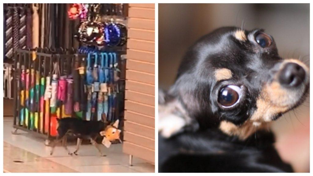 Собака «крадет» плюшевый тапочек из магазина и возвращается обратно, чтобы вернуть