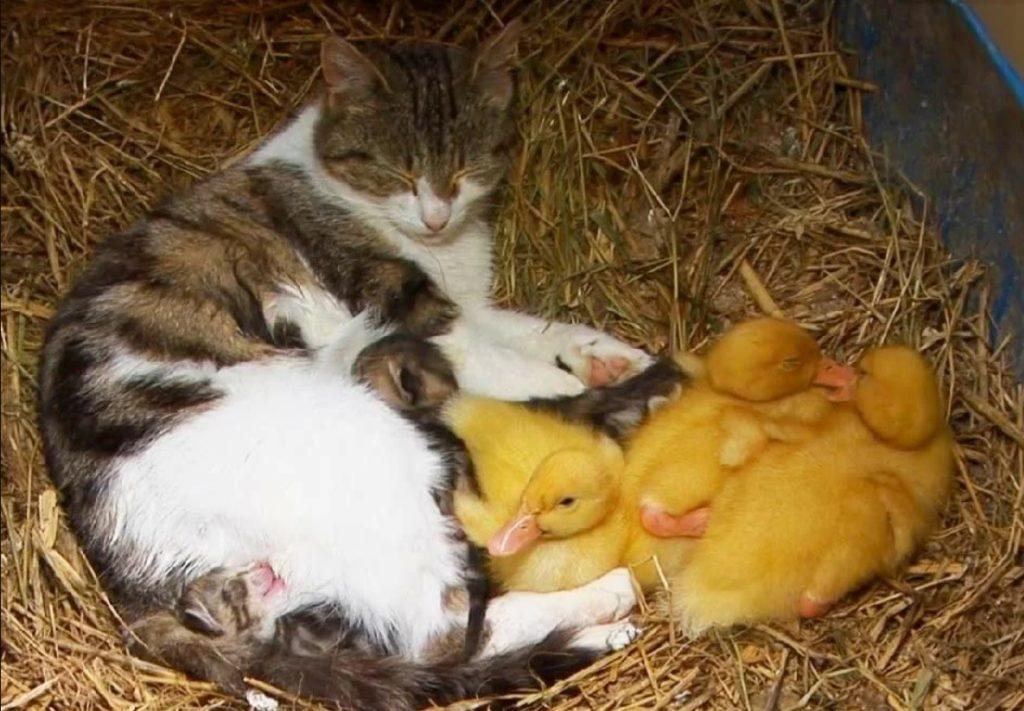 Кошка воспитывала вместе и котят и утят, как своих деток