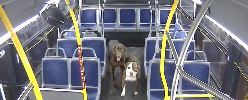 Водитель автобуса помогает двум потерянным собакам добраться домой на Рождество