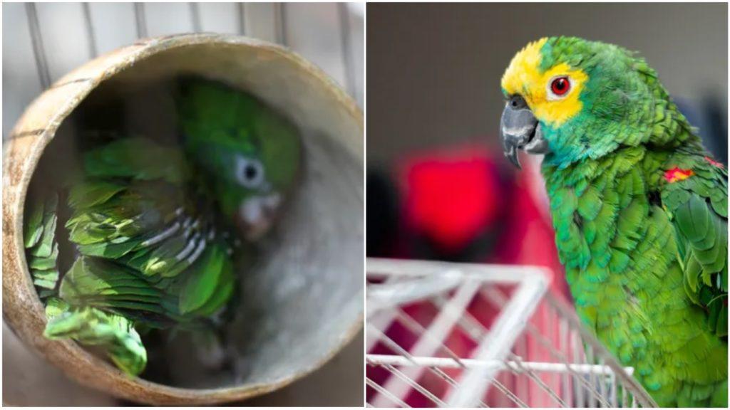 Попугай, который любил драгоценности, едва не поплатился за это жизнью