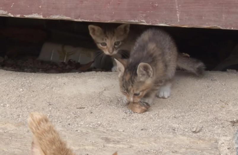 Брошенная, трехлапая кошка мама заботилась о четырех котятах в одиночку