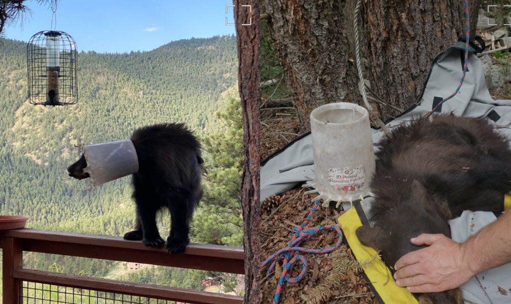 Молодого медведя освободили из ловушки в виде ведра