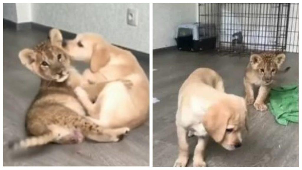 Львенок и щенок лабрадора стали неразлучными друзьями