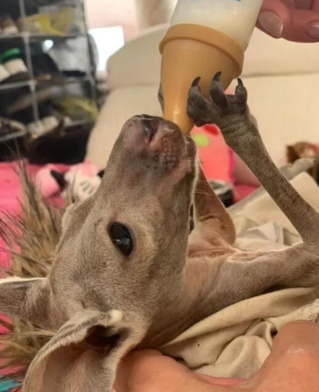 Девушка спасла кенгуренка и стала для него приемной мамой
