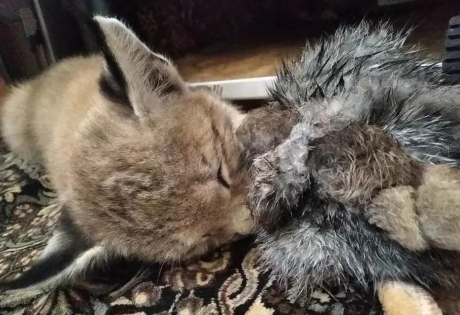 Слепой рысенок, от которого отказалась мама, любит играть со своей кроличьей шкуркой и любит свою приемную маму Марию