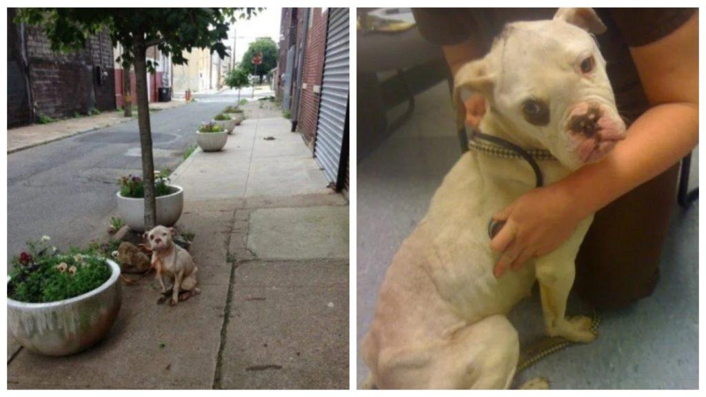 Почтальон спасает раненую собаку - которую бросили и привязали к дереву